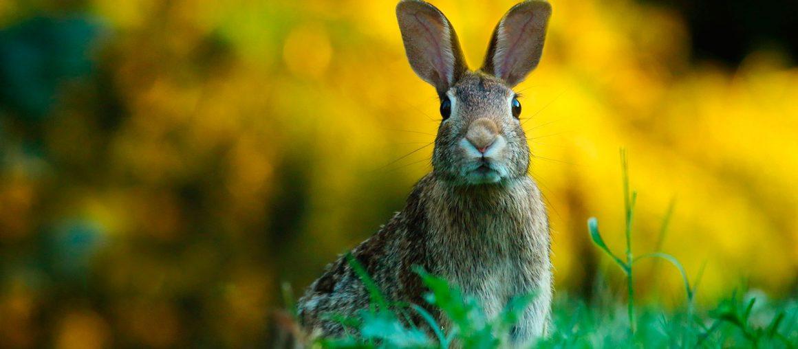 Sobrepoblación conejos